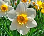 A Daffodil at full bloom