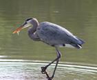 A heron eating a fish